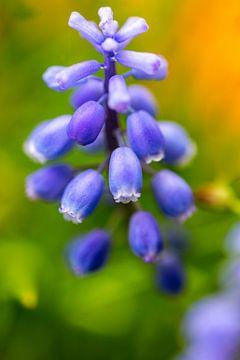 blaue Traubenblume vor grünem Kunststil-Hintergrund von Margriet Hulsker