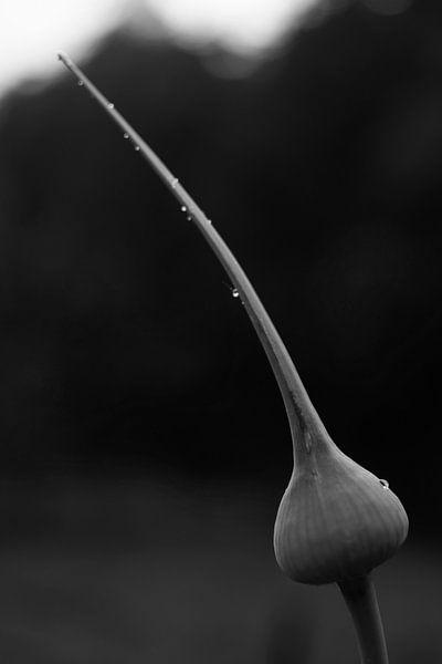 Prei bloem. van Arne Claessens