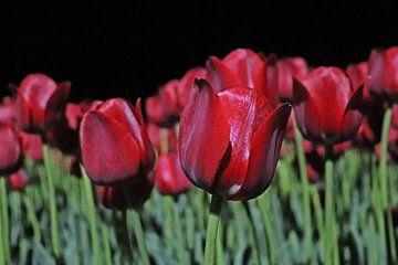 Tulpen in de nacht in Drenthe van