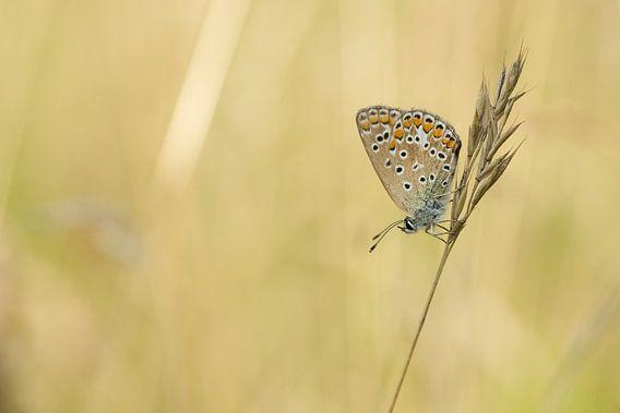 Vlinder Blauwtje tijdens het gouden uurtje