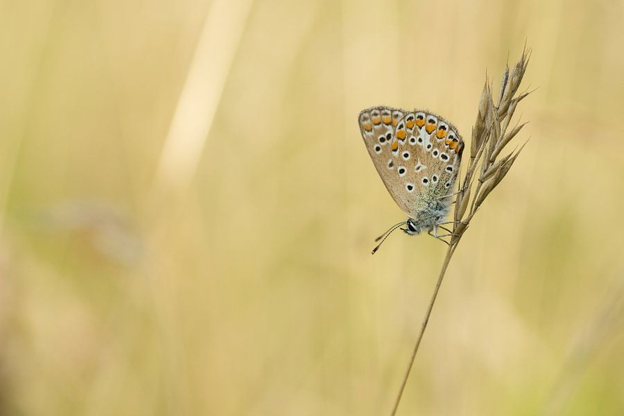 Vlinder Blauwtje tijdens het gouden uurtje van Martin Bredewold