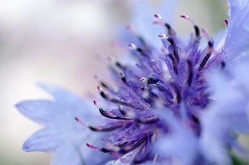 Purple blue, korenbloem Macrofotografie van Watze D. de Haan