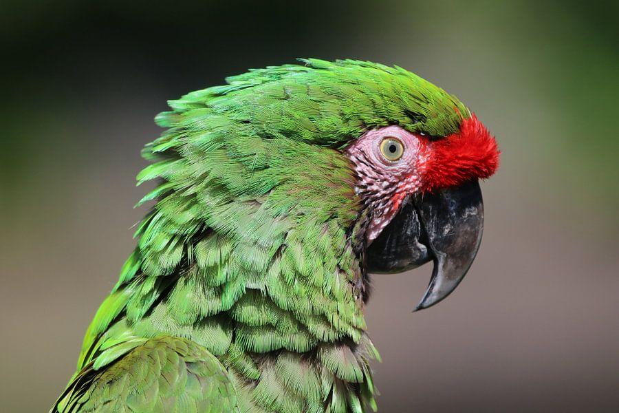 Close-up van kleurrijke Macaw