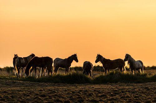 Gouden pony's