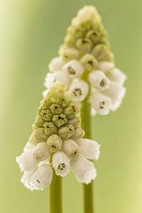 Witte druifjes/ Muscari