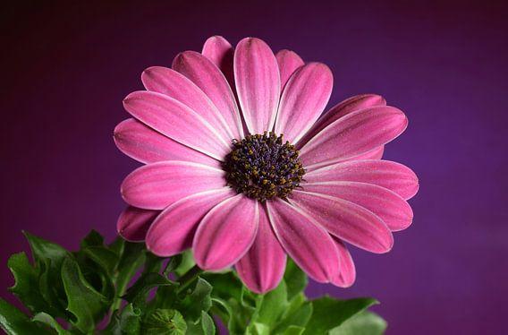 Margriet, bloem