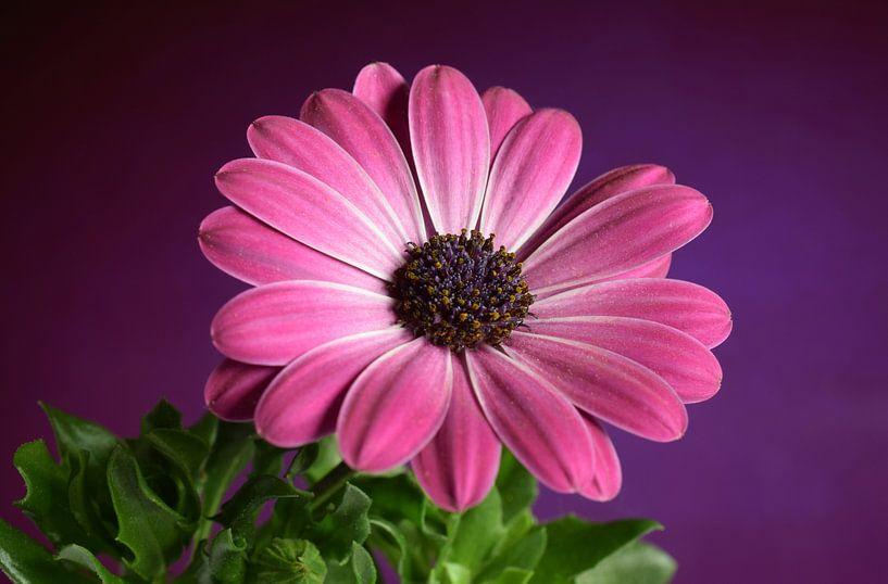 Margriet, bloem van Mark Rademaker