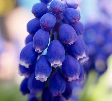 Blauw Druifje sur Dionne Houter-Pool
