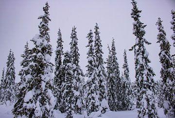 Verschneite Bäume in Lappland von Lucas Planting