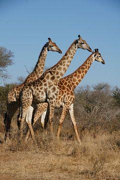 Trio Giraffen van Chris Gottenbos