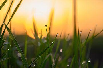 grasdruppels bij zonsopkomst van Tania Perneel