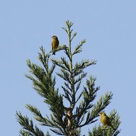 Vogels in de top van Gerard Jacobs