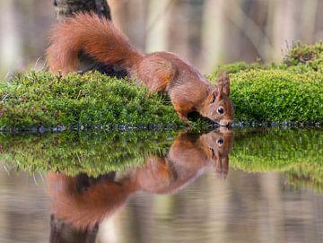 Drinkende Rode Eekhoorn in een bosvijver van Marcel Klootwijk