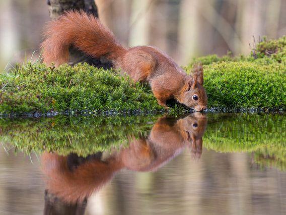 Drinkende Rode Eekhoorn in een bosvijver