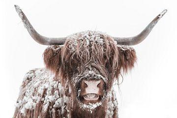 Schottische Hochlandkuh im Schnee während des Winters von Sjoerd van der Wal