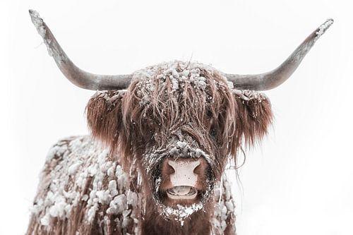 Schotse Hooglander in de sneeuw tijdens de winter