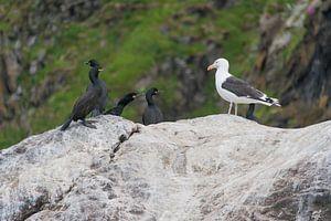 Aalscholvers en Meeuw met elkaar in contact / What are that for strange birds? van