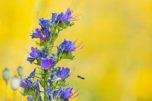 Large-headed Resin Bee van Leendert van Bergeijk