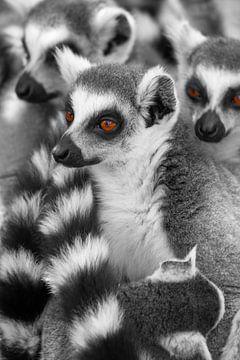 Lemuren Dieren Madagaskar van Tanja Riedel