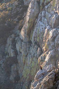 Gänsegeier (Gyps fulvus) sitzend auf einer steilen Klippe. von AGAMI Photo Agency
