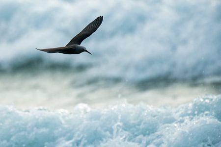 Kleine noddy (Anous tenuirostris) vliegend boven de branding op de Seychellen