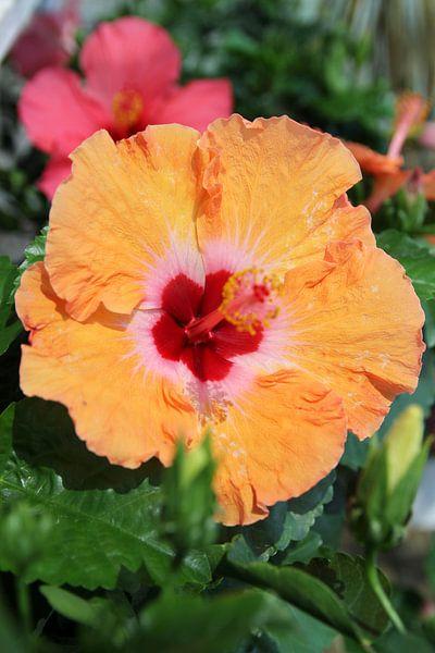 Orange Beauty van Cornelis (Cees) Cornelissen