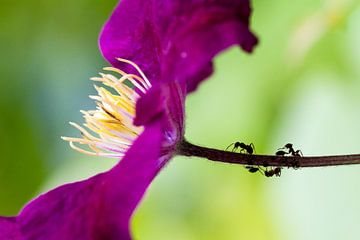 Paarse mieren sur
