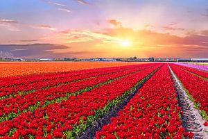 Bloeiende tulpenvelden in een nederlands landschap met zonsondergang van