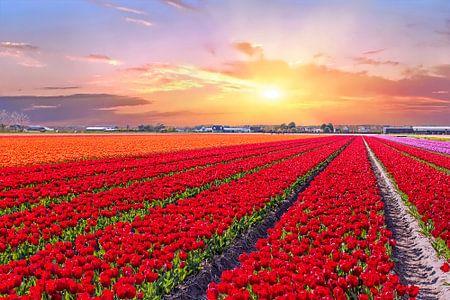 Bloeiende tulpenvelden in een nederlands landschap met zonsondergang