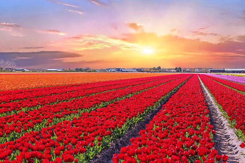 Bloeiende tulpenvelden in een nederlands landschap met zonsondergang van Nisangha Masselink