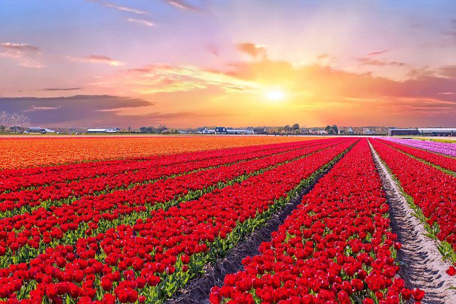Bloeiende tulpenvelden in een nederlands landschap met zonsondergang van nilaya van vliet