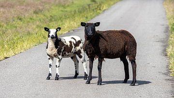 Twee schapen, zo verschillend en toch zo gelijk van Studio de Waay