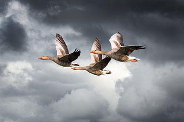 Drei Gänse fliegen gegen bewölktem Himmel bedrohlich von Inge van den Brande