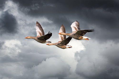 Drie vliegende ganzen tegen dreigende wolkenlucht