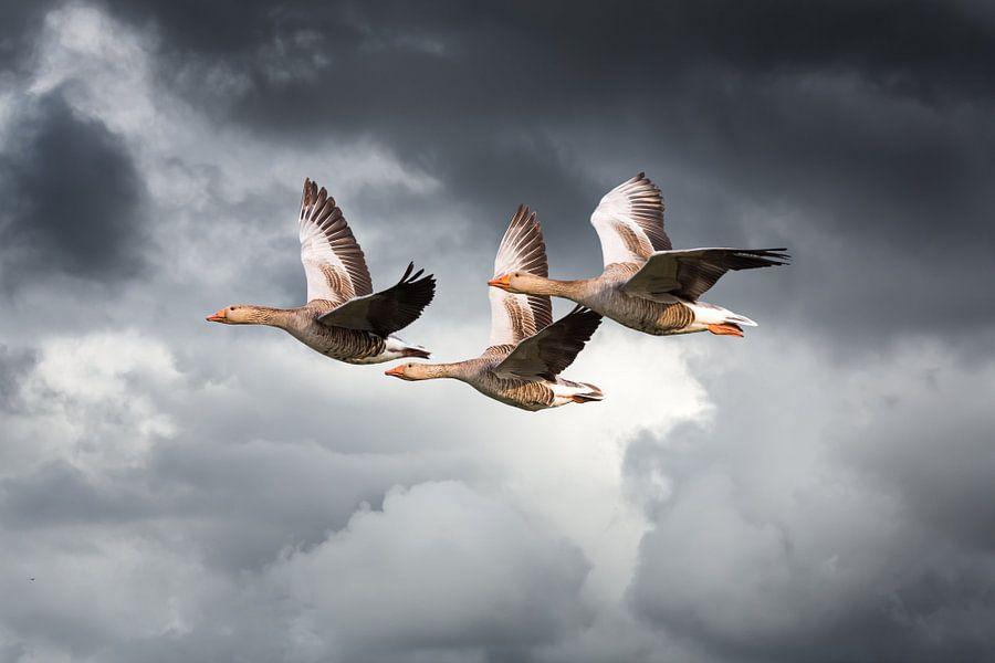 Drie vliegende ganzen tegen dreigende wolkenlucht van Inge van den Brande
