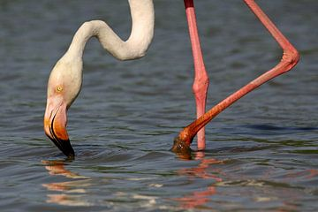 Flamingo in de Camargue van Antwan Janssen