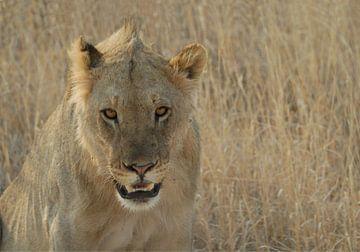 leeuw von Pieter Bosch