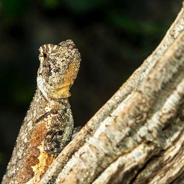 De Mopskopleguaan - Uranoscodon superciliosus von Rob Smit