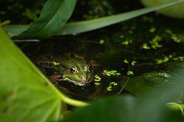 Frosch von P Kuipers