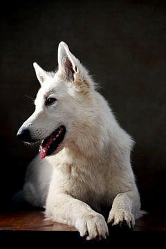 Zwitserse herdershond van Jana Behr