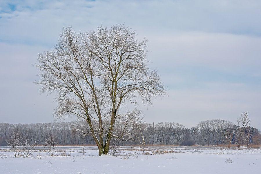 Iep in een winters sneeuwlandschap van Kristof Lauwers