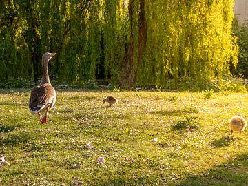 Moedergans met kuikens in park