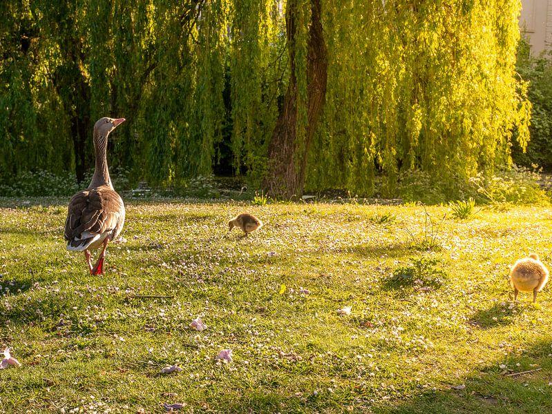 Moedergans met kuikens in park van Charlotte Dirkse