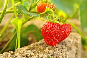 Rijpe aardbeien aan de struik van Philipp Klassen