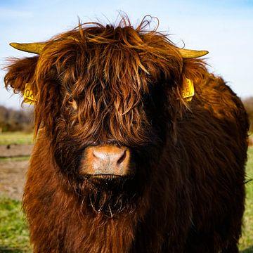 Schottischer Highlander Kalb von Amber van der Velden