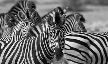 schwarz-weiße Zebras in Botswana von Marieke Funke