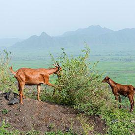 Ethiopië: grazende geiten (Mahal Amba) van Maarten Verhees