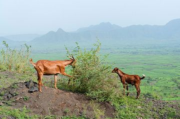 Ethiopië: grazende geiten (Mahal Amba) von Maarten Verhees