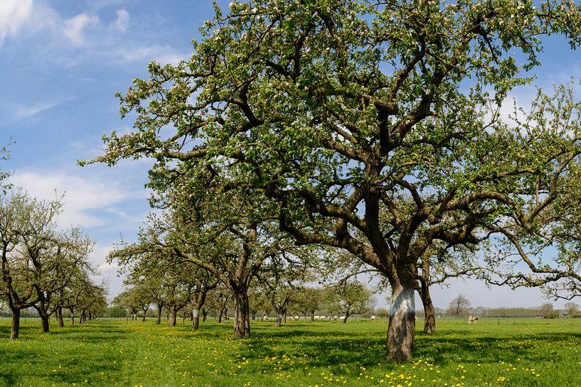 Appelbomen in de boomgaard van Sjoerd van der Wal