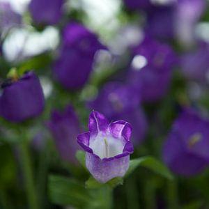 paarse bloemen van Karin Keesmaat Kijk-Kunst